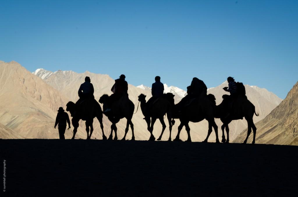 Camel Safari on double humped camels near Hunder, Ladakh, India