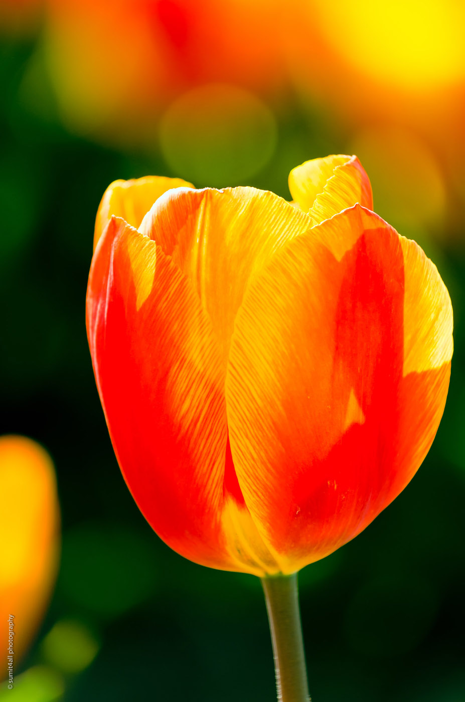 A Red and Yellow Tulip in a Tulip Field