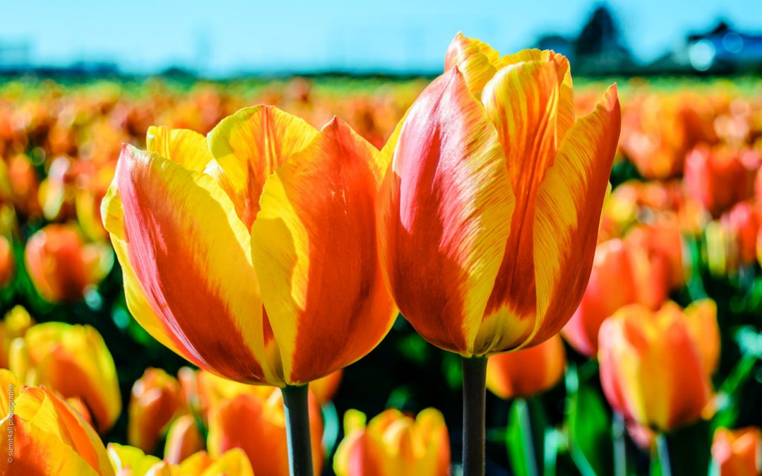 8 Photos That Prove Why the Tulip Season is the Best Time to Visit Netherlands