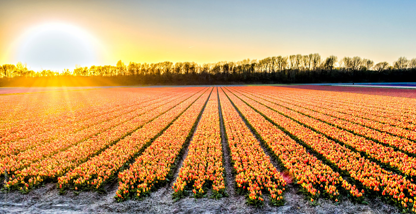 Sunset Over Tulip Fields near Lisse in Netherlands