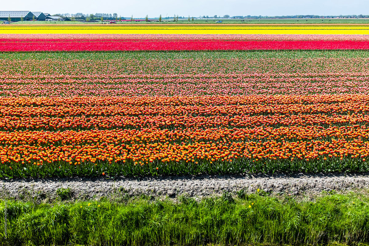 Tulip Fields near Hoorn in Netherlands